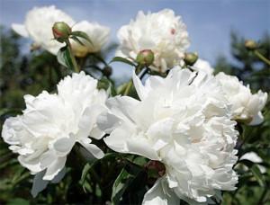 Белый пион - невероятный аромат и вкус