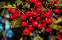 одна из самых лечебных ягод боярышник